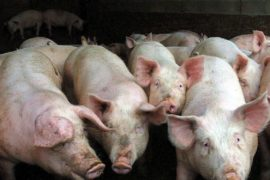L'association No Porcharan toujours en lutte contre l'installation d'une porcherie à Ossun.