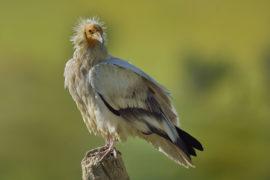 Journée internationale de sensibilisation aux vautours au Parc Animalier des Pyrénées.